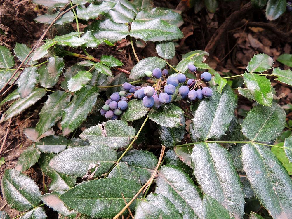 Oregon Grape, Mahonia aquifolium