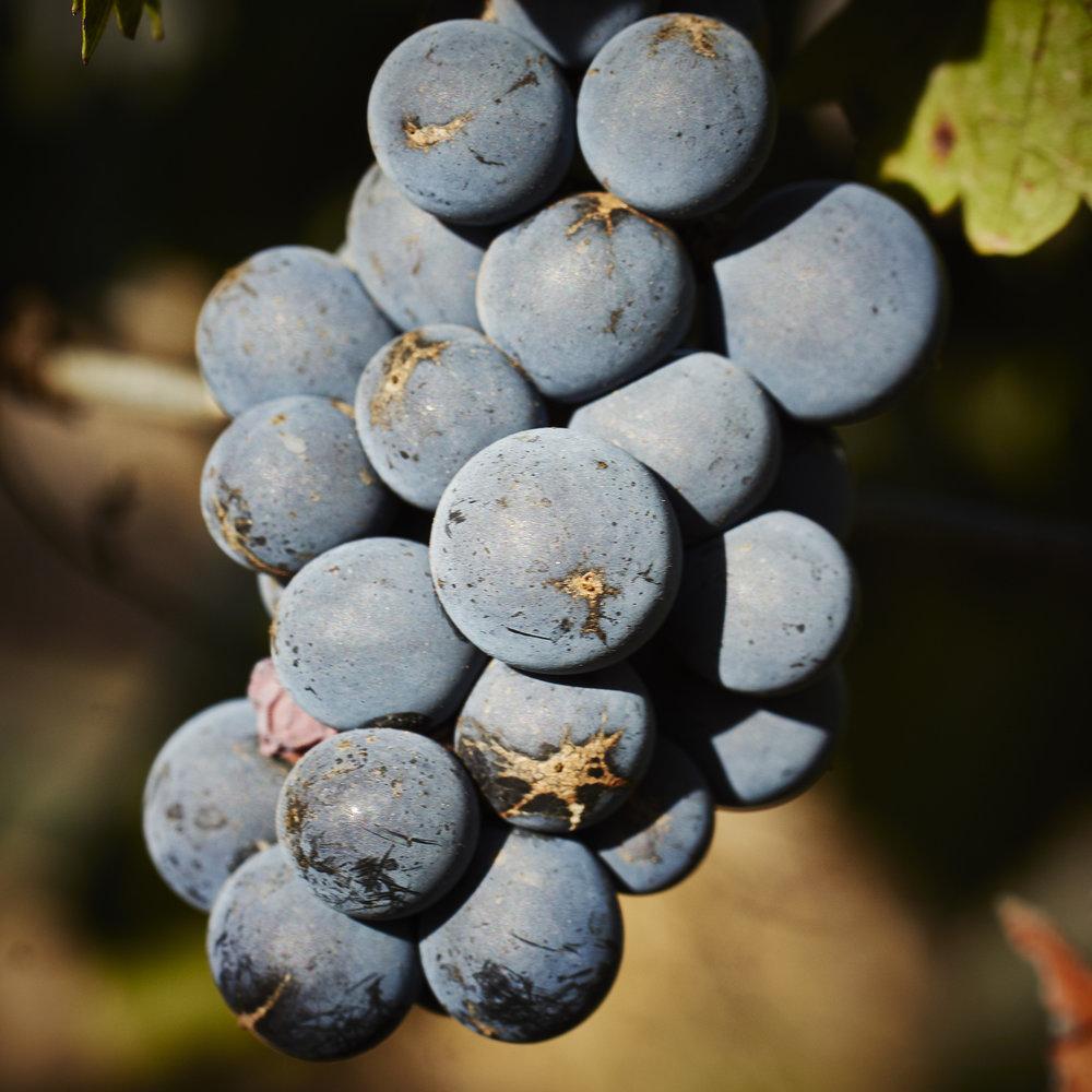 Pinot Bunch.jpg