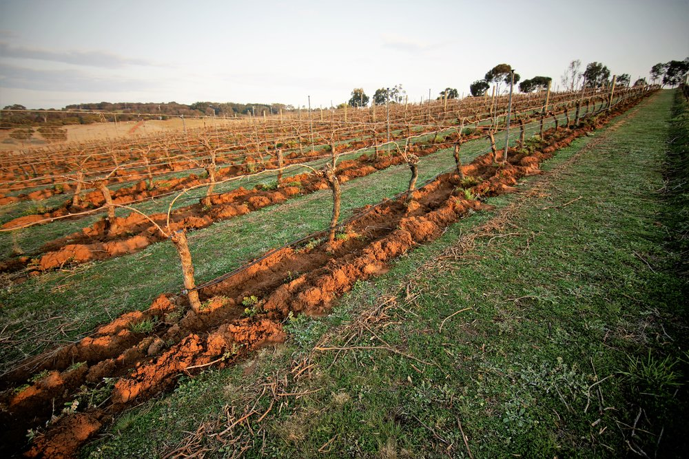 Vineyard Pruned and Cultivated 2015 brightened.jpg