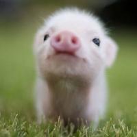 I miss you pig time.jpg