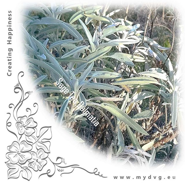 Our sage tea from the Dalmatian coast in Croatia is rapidly growing in popularity. What an amazing herb, stimulates the mind and helps us focus beyond belief, just love it.  Check us out on www.mydvg.eu and our health shop on www.natureandyou.fi @visitnatureandyou #YourHealthShopAtHome #FeelGoodEveryDay  TAGS #DVG #DolceVitaGlobal #CreatingHappiness #EverydayGourmetRecipes #NatureAndYou #sage #salvia #herbs #nature #natural #tea #tee #luonto #mind #mindfulness #awareness #stimulation #focus #loveit