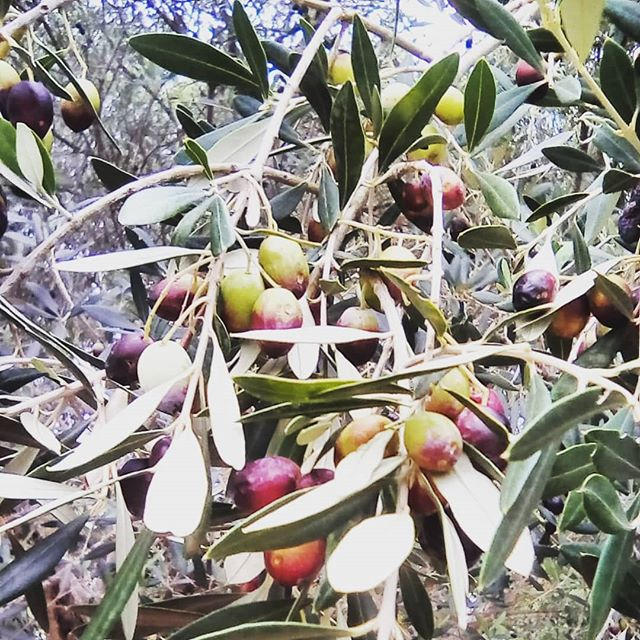 We made our own olive oil today in Croatia, what a fascinating but laboursome process. We are blessed to be able to work with such great people and learn all we can about producing products on nature's terms 😎 Tags #DVG #DolceVitaGlobal #olive #olivetree #oliveoil #croatia #nature #naturalbeauty #tasty #gourmet #food #cooking