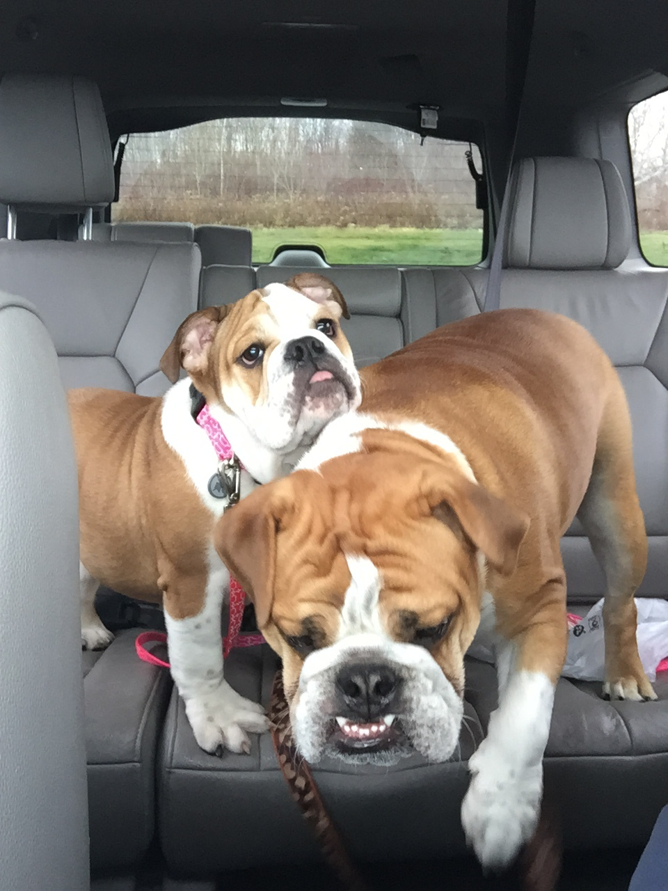 Gracie (pink collar) and Boss Dog (foreground). The loves of our lives. They keep up busy and laughing, that's for sure!
