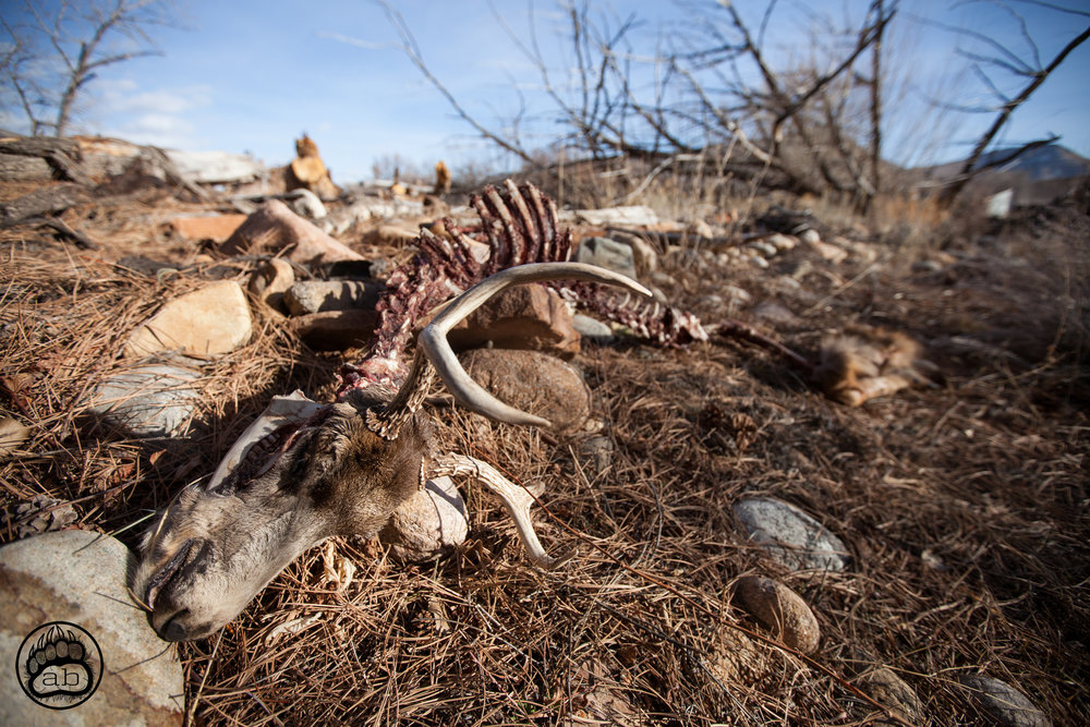USA. Lyons, Colorado. January 28, 2018. In 2013, Lyons experienced a 1000 year rain event that killed 8 people, caused $2 billion worth of damage, a caused then governor Hickenlooper to declare a state of emergency in 14 counties. Carcass of a deer near St. Vrain Creek.