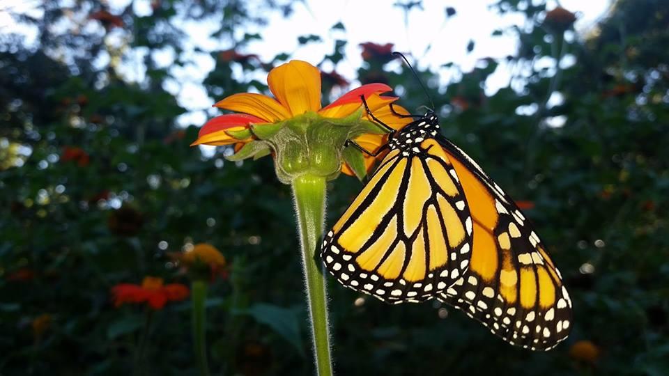 jackies butterfly