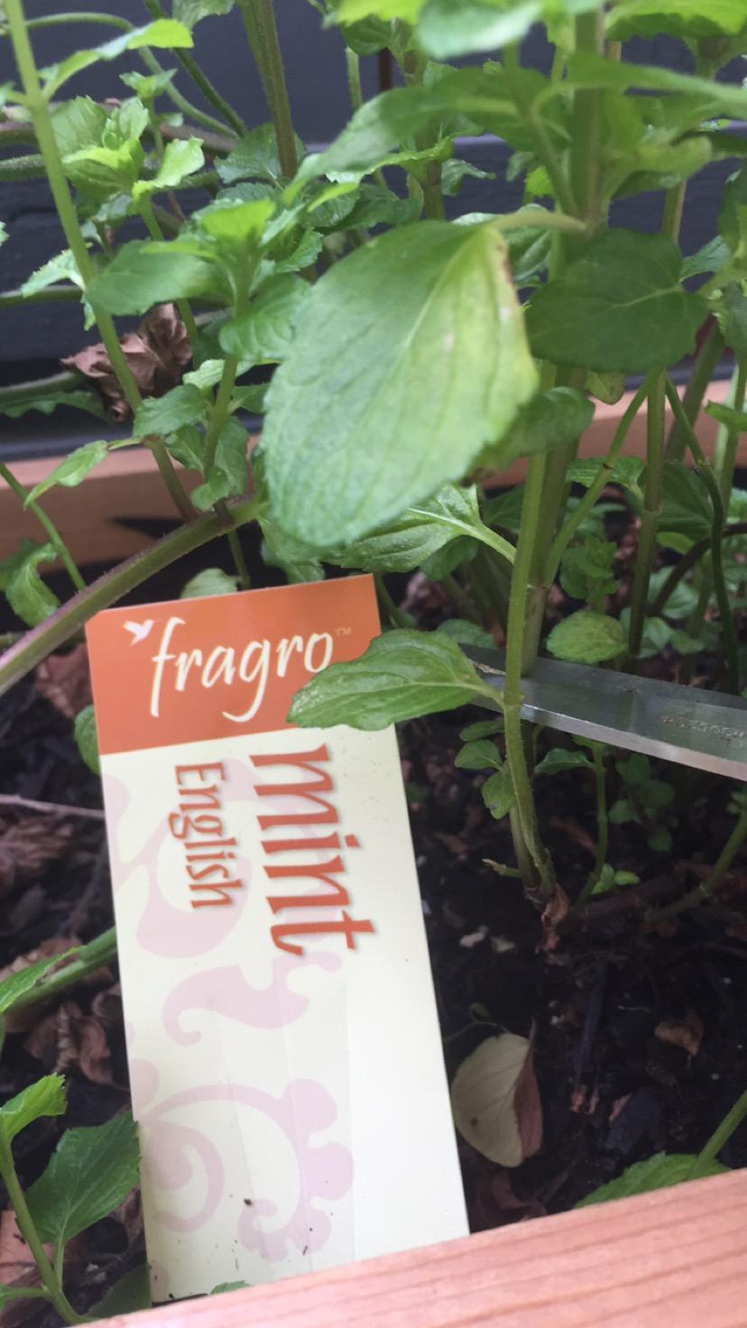 English Mint Plant