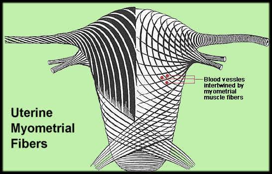 uterinemyometrialfibers.jpg