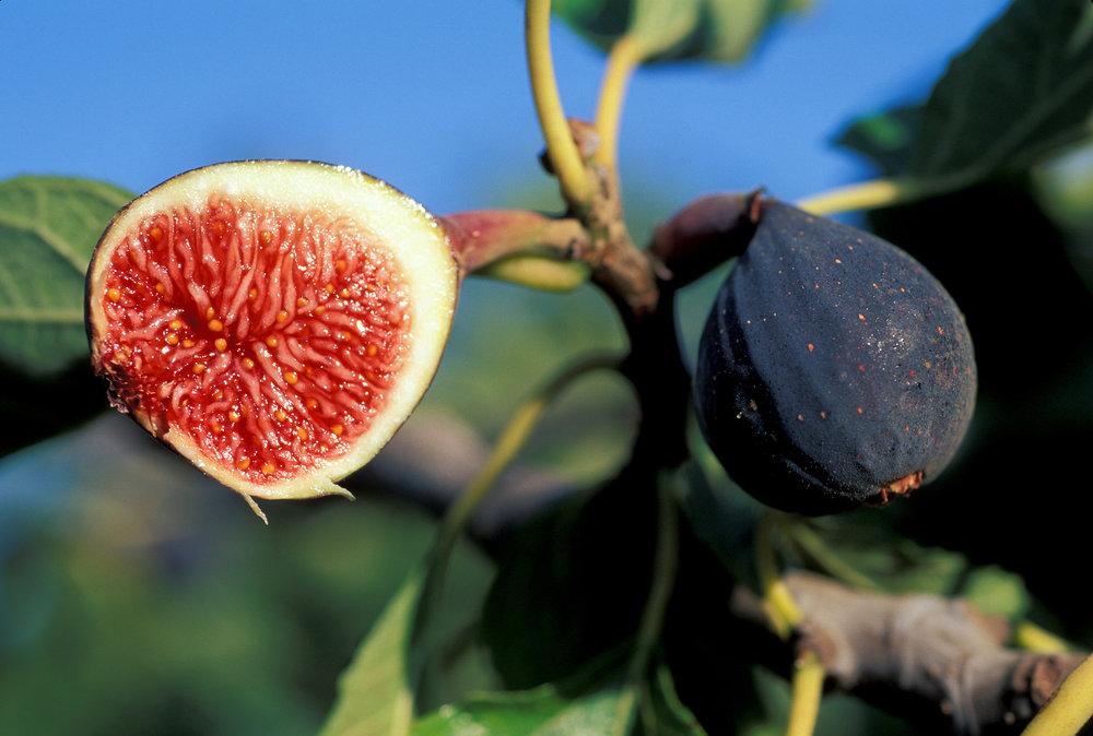 Violette_de_Bordeaux_Figs_001.jpg