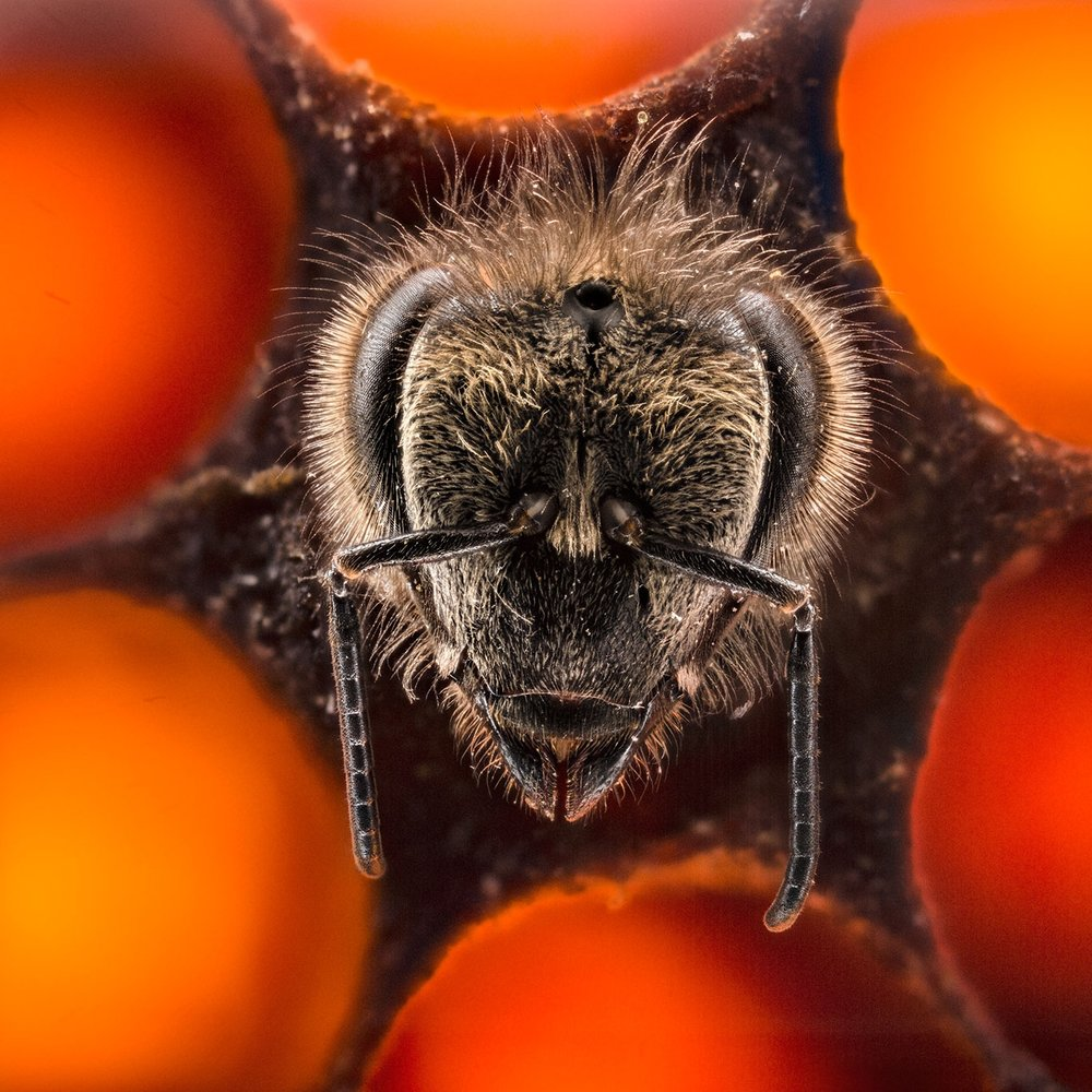For a Biologist-Turned-Photographer, a Beehive Becomes a Living Lab   When Anand Varma was asked to photograph a story on honeybees for  National Geographic , he knew he was going to have to take a different approach.