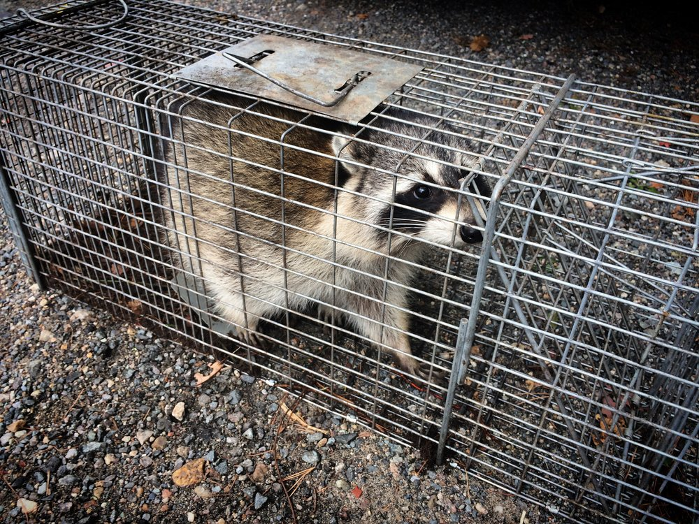 The Cape Cod Rabies Task Force Rabies is the world's deadliest disease. Here's the story of how rabies came to Cape Cod, and the struggle to eradicate it.