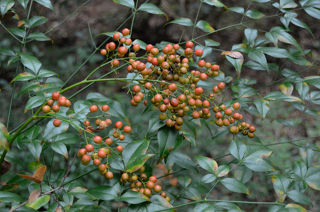 I think this is Nandina domestica. I had to do some research to be able to identify it. It turns out that it's an invasive plant, albeit a very pretty one.
