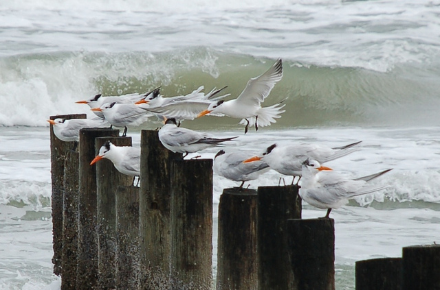 Cold birds at Mustang Island State Park