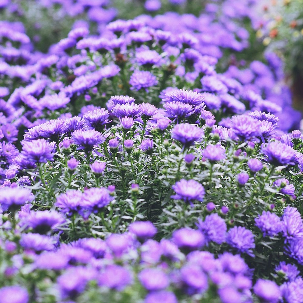 September birth flower preserving the bloom well here is the s e p t e m b e r birth flower asters asters asters this beautiful fall flower is one of my favorites and is associated with the izmirmasajfo