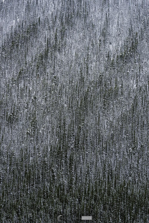 Sea of Trees 102117.jpg