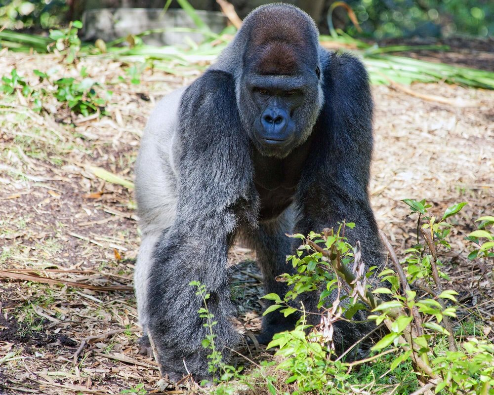 Understanding why larger primates, like gorillas, have smaller brains than humans