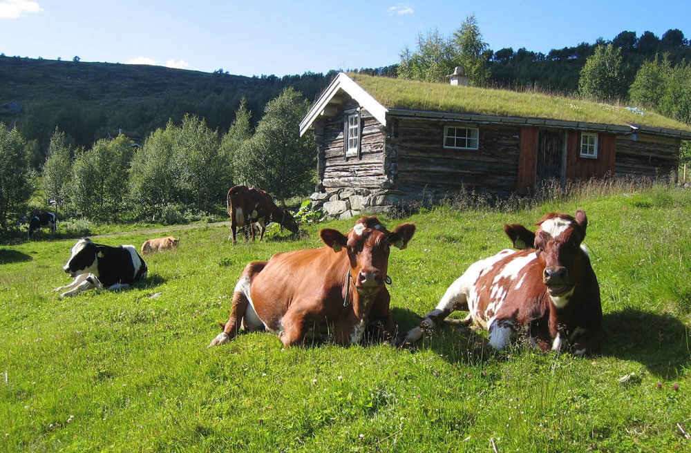 Raising animals for dairy and meat is an important culinary tradition of the Nordic