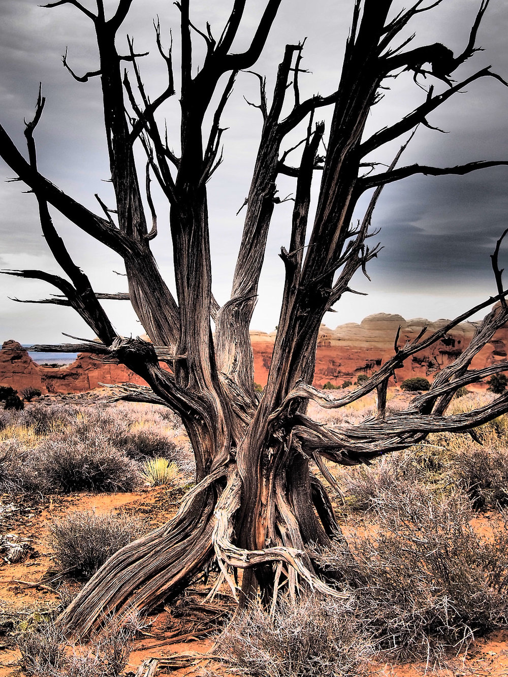 Juniper Tree in Arches National Park