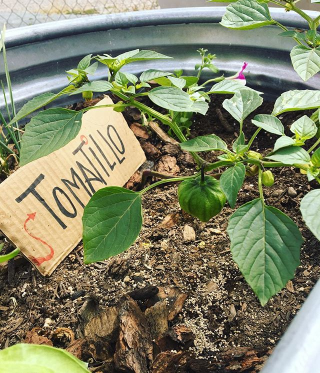 Tasty tomatillos at POPUP15! 😍  #cityheights #popup15 #eatsandiego #elcajonblvd #gardening #sandiego #foodisfree #free #food #foodgarden #urbangarden #volunteering #vegetables # fruits #herbs #flowers