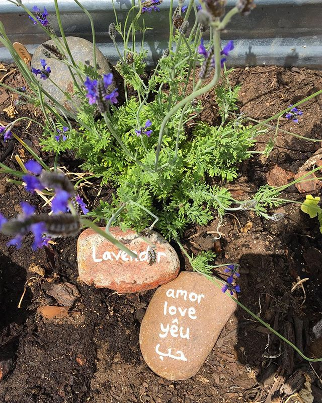 Spread the love🐝 #love #lavender #bees #gardening #sandiego #cityheights #urbangardening #freefood #elcajonblvd #happy #happiness #share #community #multilingual