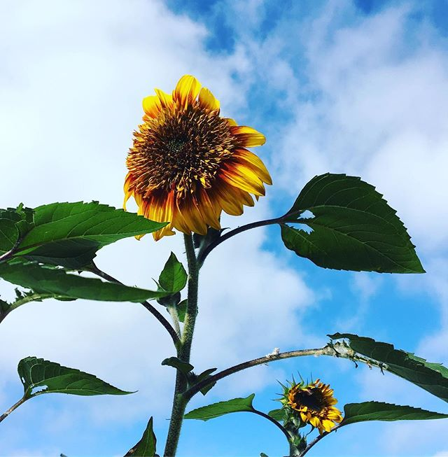 It's a beautiful day at the garden🤗🌻 #popup15 #sandiego #communitygarden #community #garden #sunflower