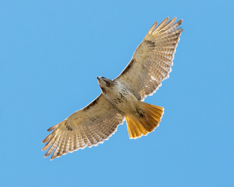 Adult Red-Tailed Hawk by Frode Jacobsen
