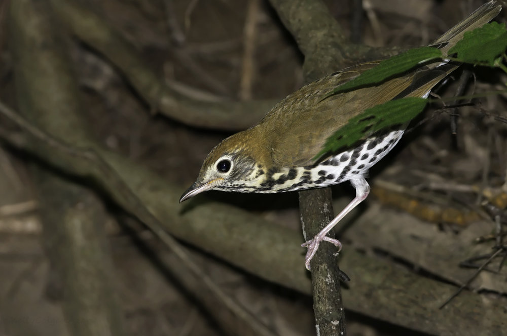 Wood Thrush by Kelly Colgan Azar