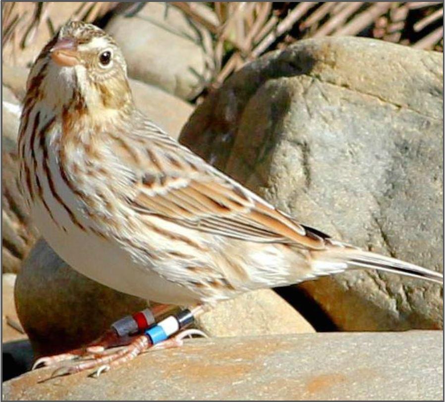 Ipswich Sparrow.jpg