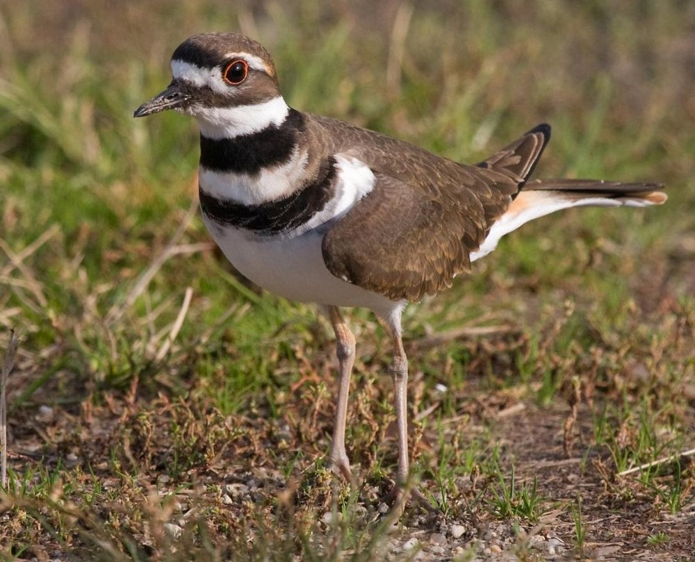 Killdeer_cropped.jpg