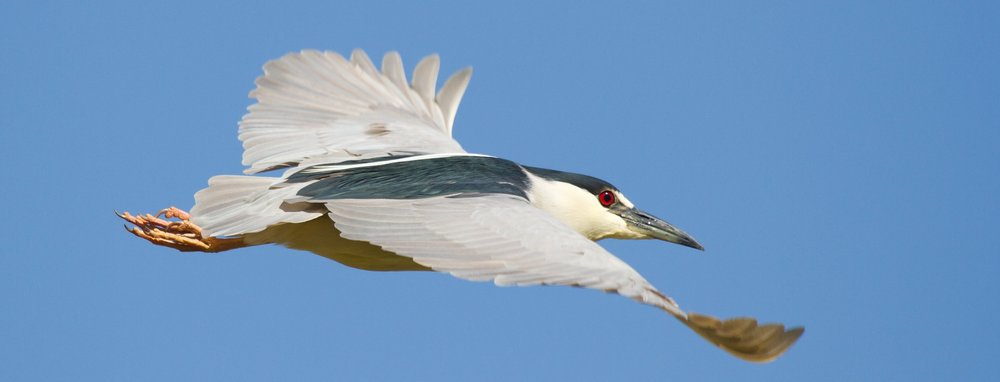 Black-crowned Night-Heron ( Nycticorax nycticorax ) by Frode Jacobsen