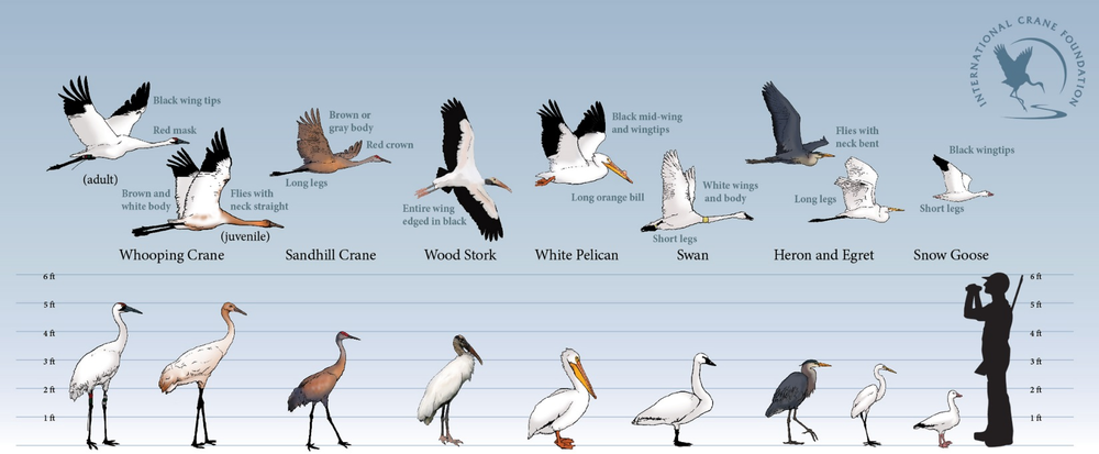 Large Waterbird I.D. Guide, Courtesy of the International Crane Foundation