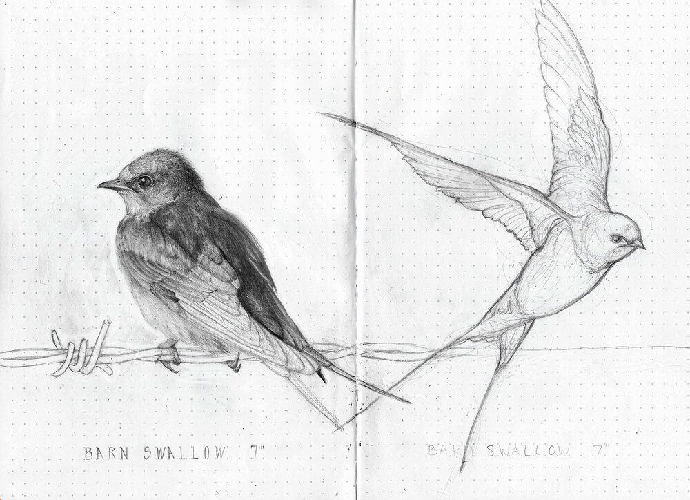 Pages 14 & 15--Barn Swallows.jpg
