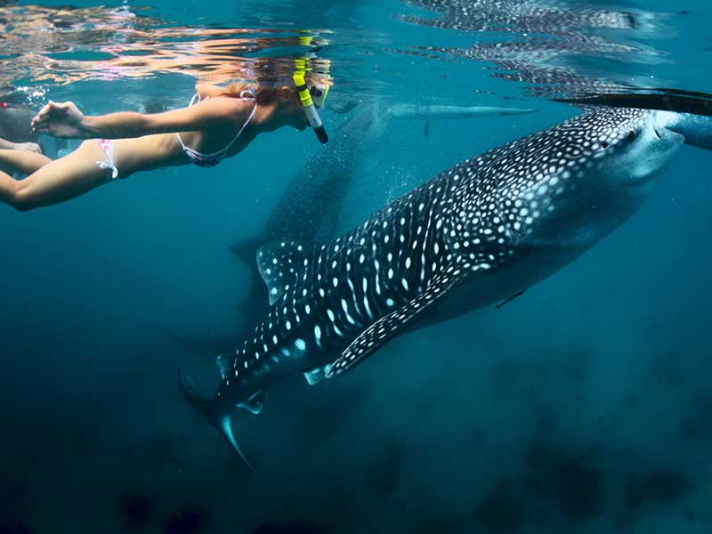 Swimming with whale sharks at Easter, Ningaloo Reef, Exmouth WA. Source:  Ningaloo Whale Sharks .