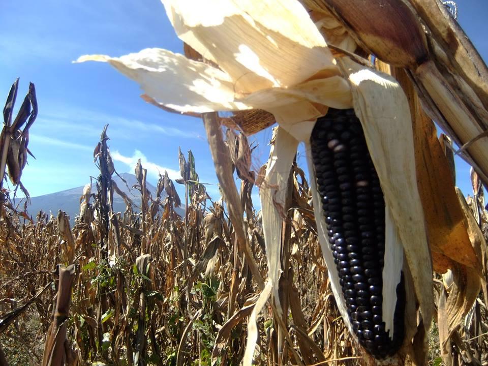 Blue Corn Fields