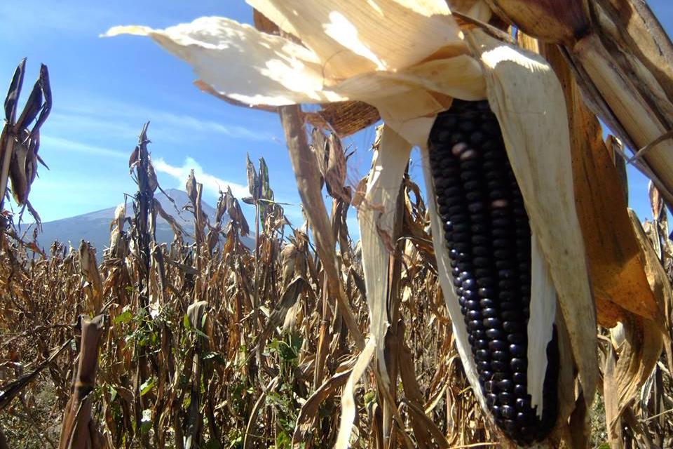 Nuestra Ethos - De esta forma, al comprar y consumir pinole Azure, estás contribuyendo directamente a:- la preservación de prácticas indígenas tradicionales- la biodiversidad genética del maíz en los tiempos del cambio climático, y- al bienestar económico de las comunidades indígenas.