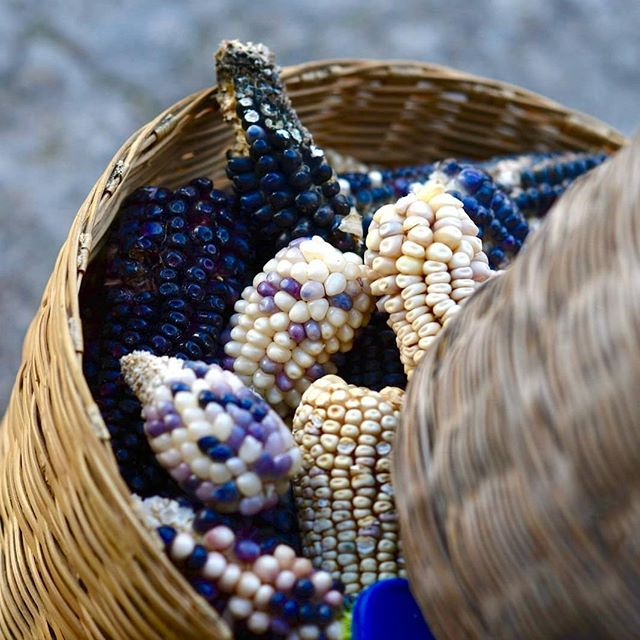 Here is our first harvest of blue corn. It's fresh and will take 2 to 3 months to dry. Then it will be roasted to make our beautiful @bluepinole and tasty @peakpinole bites 😊👌👍 #realfood  #continuethelegacy #glutenfree #vegan #heritage #corn #blue #farming #harvest #Mexico