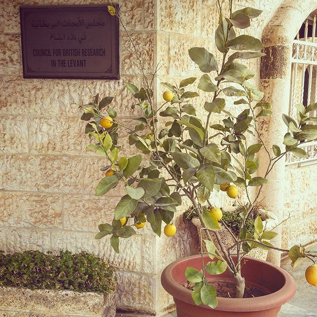 The British Institute lemon tree was a gift to Carol Palmer by CBRL Fellows  #garden #flowers #nature #flower #plants #organic #green #gardens #plant #summer #growyourown #beautiful #homegrown #succulents #succulent #flowerstagram #gardener #mygarden #love #greenthumb #instagood #naturelovers #cactus #picoftheday #growsomethinggreen #spring #landscape #urbangarden #vegetables #photooftheday