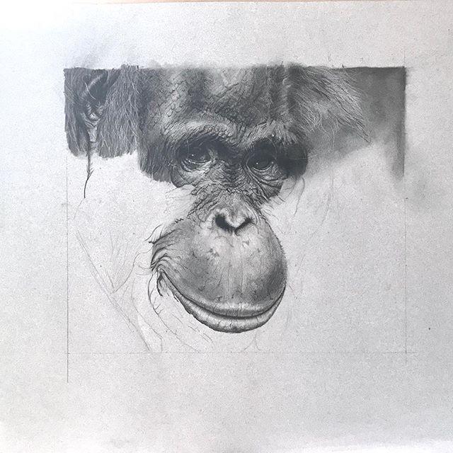Slowly slowly this one is coming along … . . . . . . #orangutan  #wildlife #conservation #animallover #wildlifeart #VioletAstorArt #charcoal  #art #artist #artist #contemporaryart #wip #artlovers #pencilsacademy #artcollector #instaart #artistsofinstagram #charcoaldrawing #art_seeking  #blackandwhite