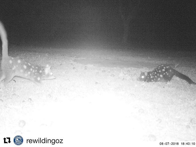 Reposting @rewildingoz ・・・ A truly beautiful sight. 'Quoll Karlos' and 'Violet' playing together in Booderee National Park. Photo taken on 7 August by camera trap deployed to monitor eastern quolls by @anufennerschool and @parksaustralia. This sight would not have been possible without the ongoing support of @wwf_australia @tarongazoo @devilsatcradle @trowunna_wildlife_sanctuary and @shoalhavenlandcare who are working collaboratively to return the eastern quoll to its former home in the wild on mainland Australia. #rewilding #wildoz #booderee