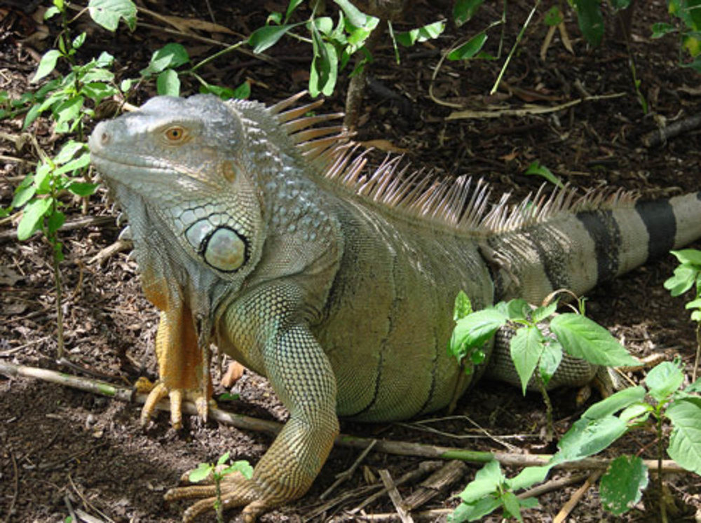 Costa Rica iguane.jpg