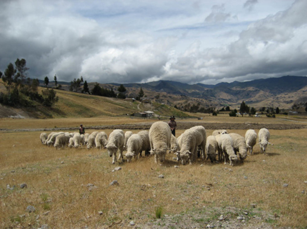 Equateur moutons.jpg