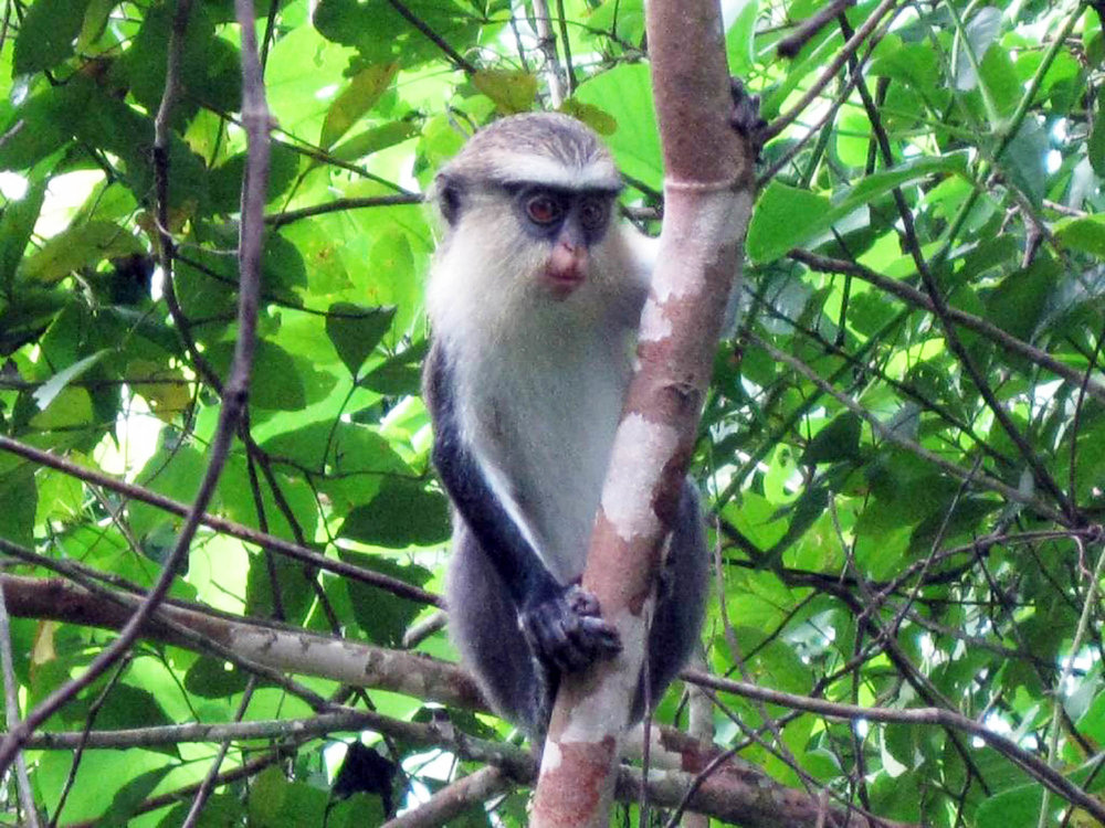 Ghana, Mona Monkey- copyright goldcoast.be.jpg