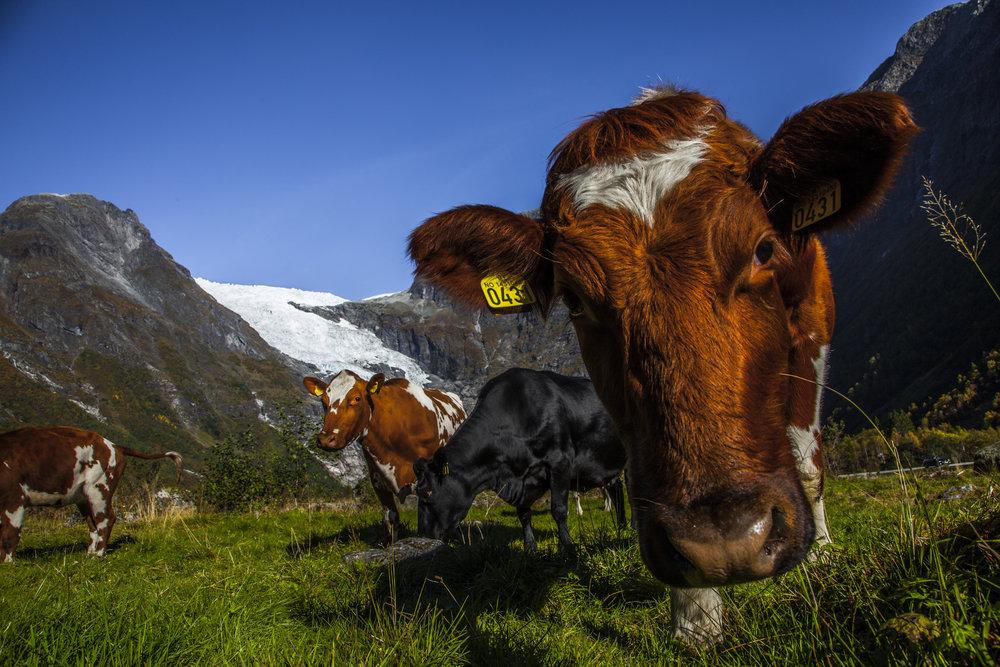 Kyr på beite framfor Bøyabreen.