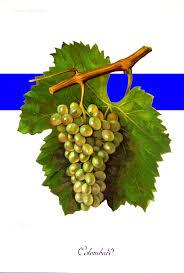 LE COLOMBARD: très utilisé en vins blanc de pays de gascogne, il donne pour l'armagnac beaucoup de fruit et d'agrumes de fleurs blanches et de la fraicheur .