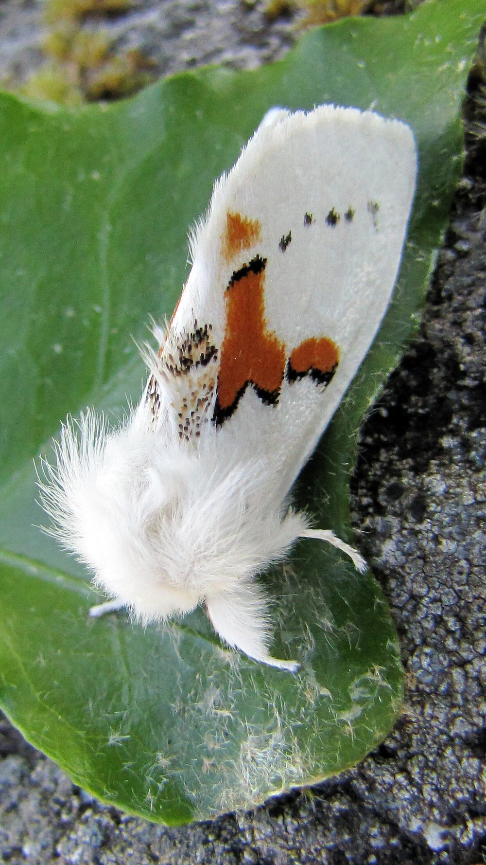 White Prominent