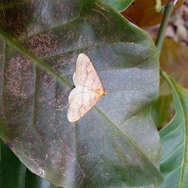 Scarce umber at our western base in Eshywulligan, Fermanagh. A new 10km square for the species.