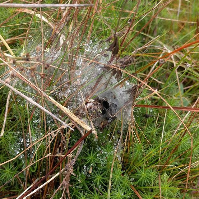 Larval web at Teiges Mtn. Despite the fire in May this year we have found 46 webs this year. Tough little critters.