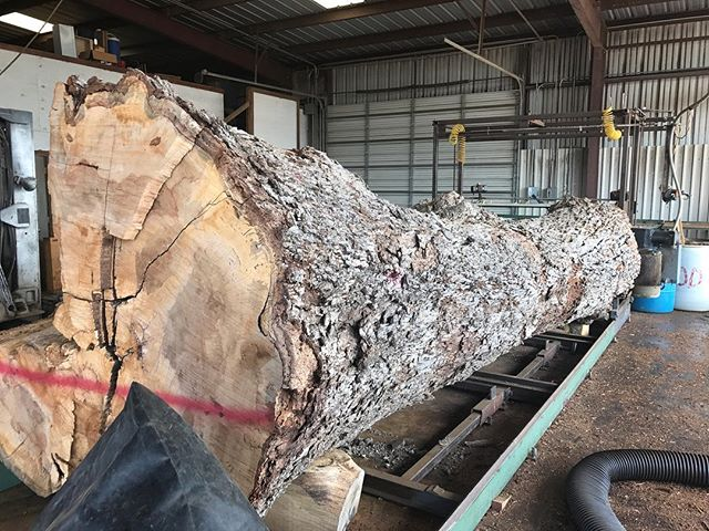 The Big Boy is on the #chainsawmill and ready to be slabbed up!!! #gotwood #webuybigtrees #dfw #denton #sanger #pecan #pecanslab #pecantree #bigtree