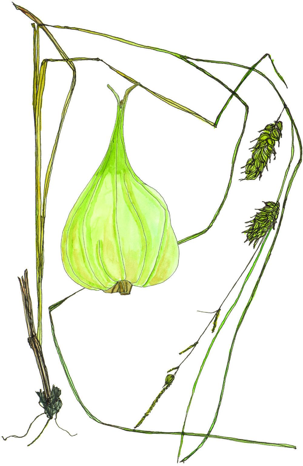 Fig29_Carex_tuckermanii.jpg