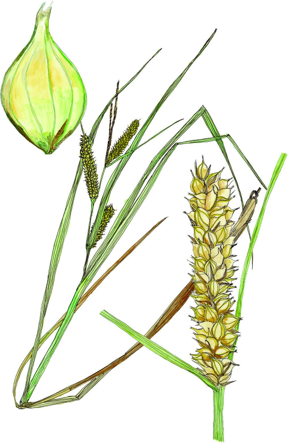 Fig30_Carex_utriculata.jpg