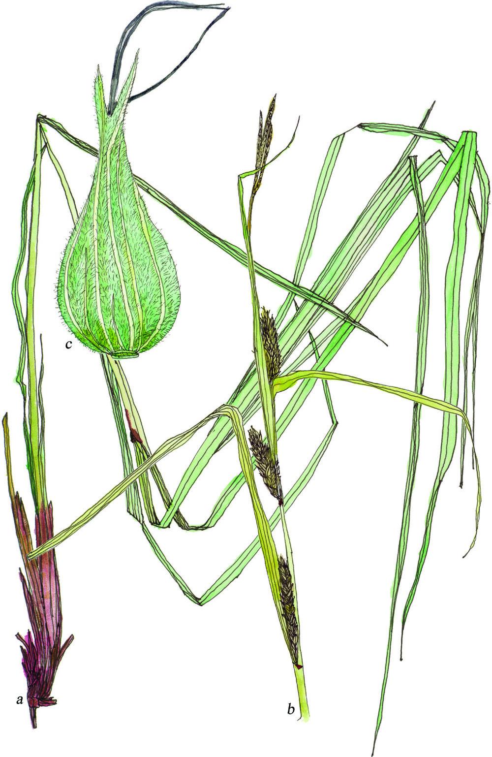 Fig32_Carex_trichocarpa.jpg